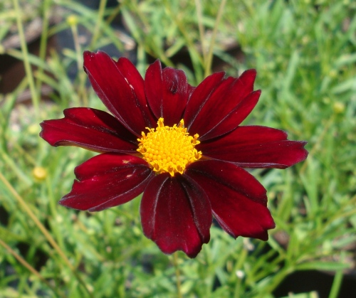 Coreopsis x 'Mercury Rising' is a bold color choice for any garden!